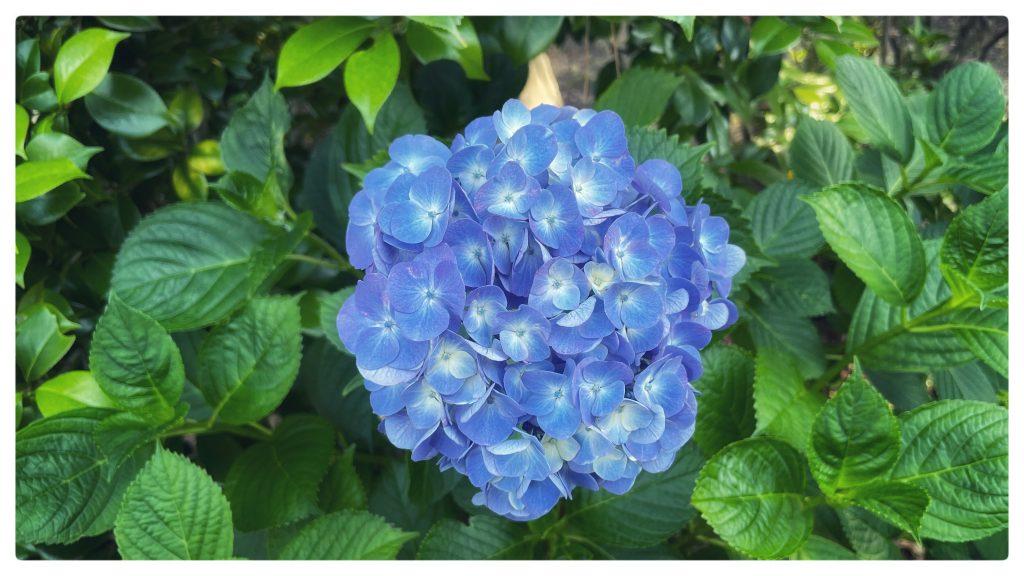 安養寺の紫陽花